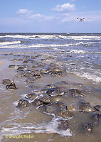 1Y47-127x  Horseshoe Crab - mating on beach at high spring tide -  Limulus polyphemus