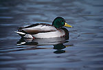 Drake mallard swims on pond in Colorado.