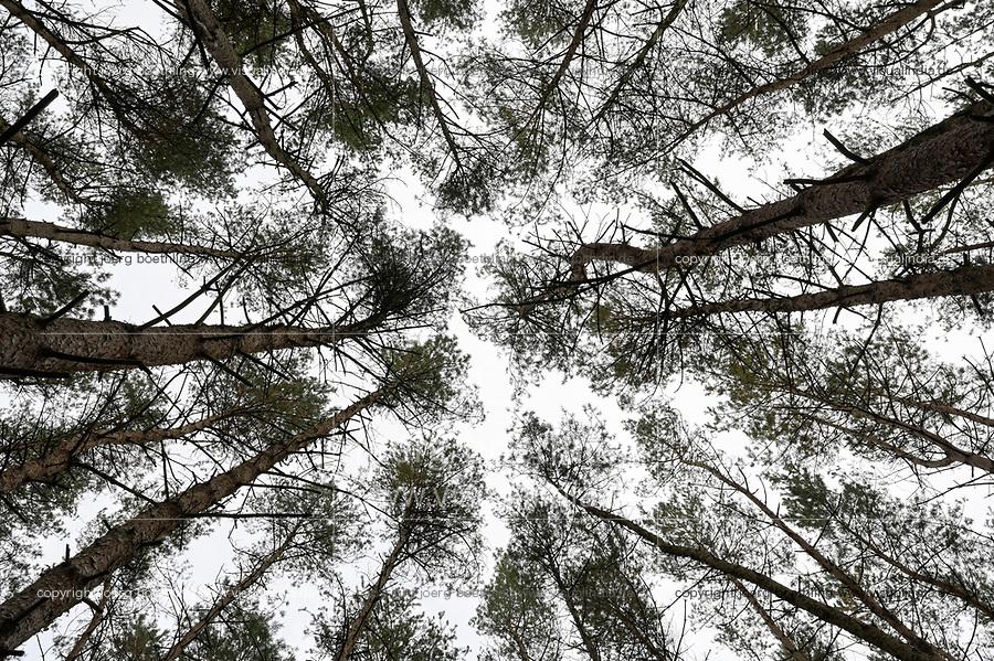 GERMANY, Mecklenburg, Forest,  pine tree affected with Bark beetle infestation, drought and storm damage / DEUTSCHLAND, Mecklenburg, Luebz, Kiefernwald, nach mehrjähriger Dürre sind viel Bäume geschwächt und anfällig für Sturmschäden und Baumschädlinge