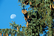 Norway Spruce with the moon in the background in New Hampshire USA, which is part of scenic New England