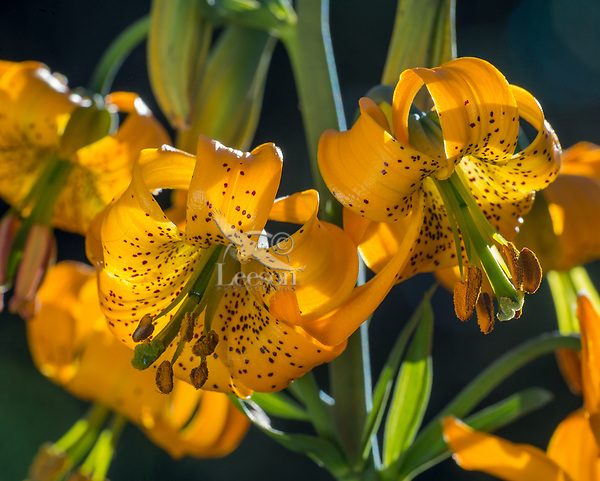Columbia Lily, Columbian Lily, Oregon Lily, Tiger Lily (Lilium columbianum).  Pacific Northwest.  June.  Common wildflower from southern British Columbia in Canada south to northern California and east to Idaho and Nevada (northwestern U.S.).