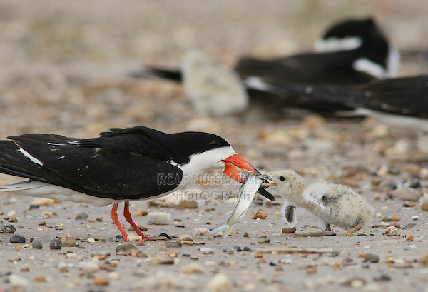 Black Skimmer (Rynchops niger), adult feeding fish to young, Port Isabel, Laguna Madre, South Padre Island, Texas, USA