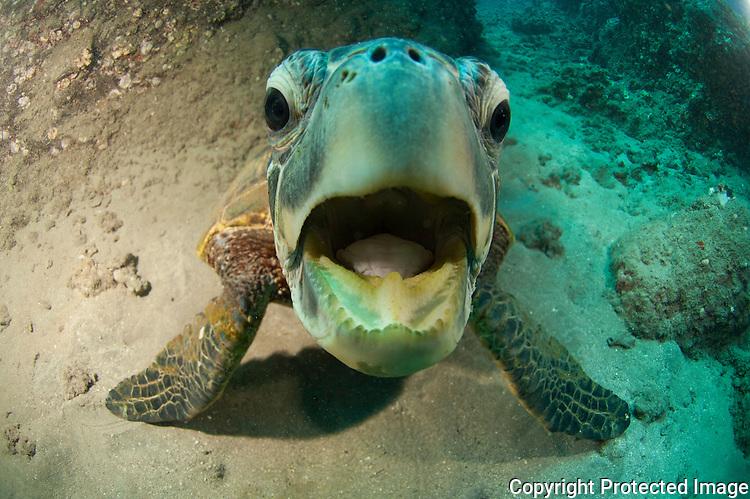 Small green sea turtle trying to bite dome port of camera.Nahuna Point Maui Hawaii