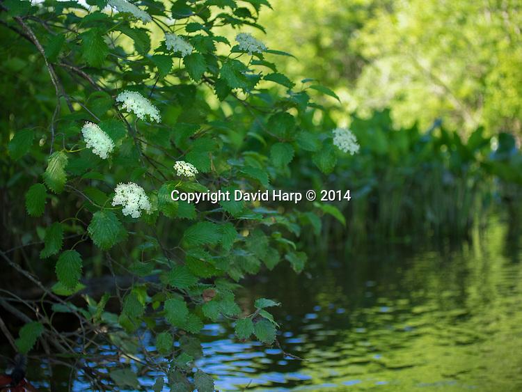 Viburnum blooms along the edge of Tuckahoe Creek in late May.