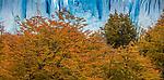 Southern beech, Los Glaciares National Park, Argentina , Moreno Glacier