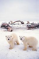 polar bear, Ursus maritimus, mother with curious cubs scavenging a bowhead whale, Balaena mysticetus, carcass, 1002 coastal plain of the Arctic National Wildlife Refuge, Alaska, polar bear, Ursus maritimus