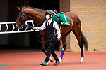 TOYOAKE,JAPAN-MAR 20: Rooks Nest,ridden by Hideaki Miyuki, is walking at the padock before the Falcon Stakes at Chukyo Racecourse on March 20,2021 in Toyoake,Aichi,Japan. Kaz Ishida/Eclipse Sportswire/CSM