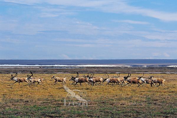 Barren ground caribou on arctic coastal plain, Northern Alaska, Summer.  ANWR.