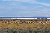 Barren ground caribou on arctic coastal plain, Northern Alaska, Summer.  ANWR.