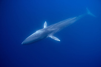 fin whale, Balaenoptera physalus, endangered species, Pico island, Azores, Portugal, Atlantic Ocean