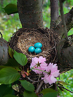 Robin's nest eggs.