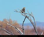 Bald Eagle 3rd Year Juvenile, Bosque del Apache Wildlife Refuge, New Mexico