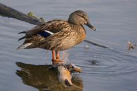 Stockente, Stock-Ente, Weibchen, Anas platyrhynchos, mallard, female