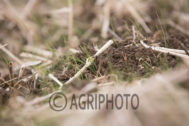 Blackgrass plants emerging <br /> Picture Tim Scrivener 07850 303986<br /> ….covering agriculture in the UK….