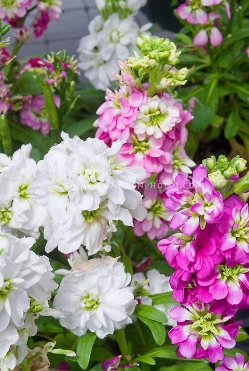 Matthiola incana Hot Cakes stock mix, fragrant cool-weather annual flowers, variety of colors