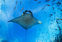 reef manta ray, Mobula alfredi, feeding on plankton, German Channel, Palau, Micronesia, Pacific Ocean