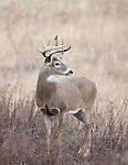Whitetail buck in grassland in Montana
