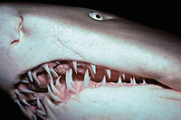 sand tiger (gray nurse) shark, Carcharias taurus, North Carolina, USA (W. Atlantic)