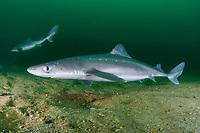 Dogfish Sharks | Spurdog