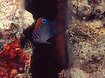 Stegastes adustus juvenile, Dusky damselfish or scarlet-backed demoiselle, is a damselfish in the family Pomacentridae