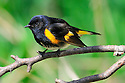 00976-001.04 American Redstart male is perched in shrub while foraging for insects.