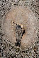 Star, an natürlicher Bruthöhle, Baumhöhle, Nisthöhle, mit Nistmaterial, Nestbau, Nest, Sturnus vulgaris, European starling