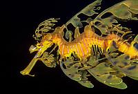 leafy seadragon, Phycodurus eques, Western Australia