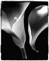 Black & white image of a calla lily.