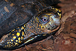Eastern box turtle walking over dark mulch in garden close-up shot of head and shoulders looking at camera.