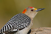 Adult male Golden-fronted Woodpecker (Melanerpes aurifrons) of the subspecies M. a. aurifrons. Hidalgo County, Texas. March.