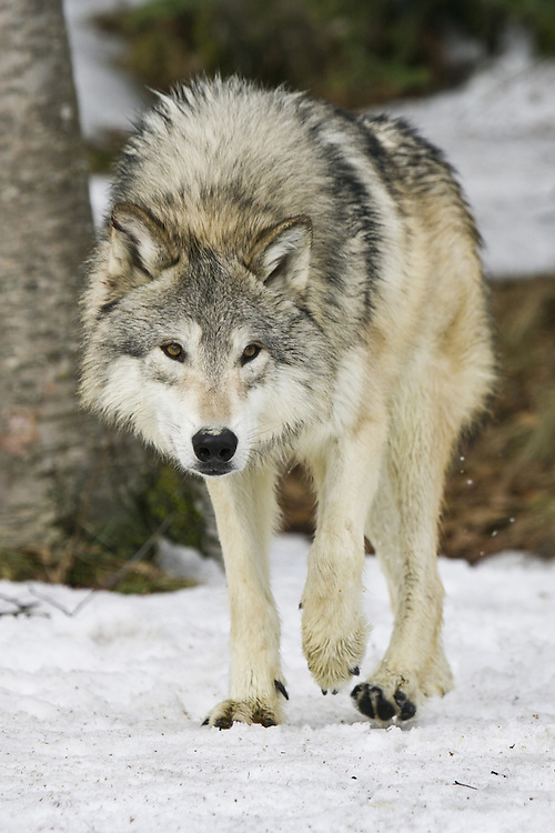 Grey Wolf in the snow - CA