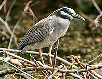 Adult yellow-crowned night-heron
