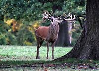 Red Deer at Woburn Deer Park in Bedfordshire at the start of the rutting season. Woburn, Bedfordshire, UK October 16th 2020<br /> <br /> Photo by Keith Mayhew