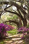 Azelas and live oaks at Magnolia Plantation Charleston South Carolina