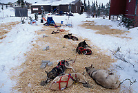 Pedro Curuchet's Dog Team Rests at Koyuk