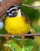 Santa Marta warbler