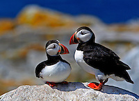 Pair of Atlantic Puffins Sharing Rock  #P16