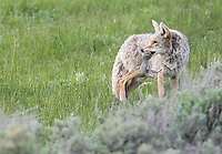 This coyote landed a big prize: a Uinta ground Squirrel.