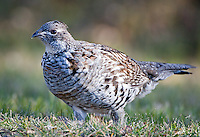 Ruffled grouse standing along the main road at Elk Island National Park