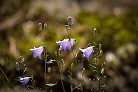 """Harebell Flowers""<br />