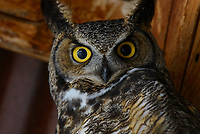 Adult male Great Horned Owl (Bubo virginianus) roosting in an abandoned barn. Idaho, USA. April.