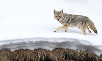 Perhaps the most commonly seen predator during winter in Yellowstone.