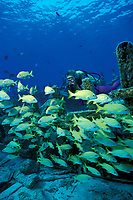 diver French grunts, Haemulon flavolineatum on Del Mar wreck Cozumel Island, Yucatan, Mexico, Caribbean Sea, Atlantic