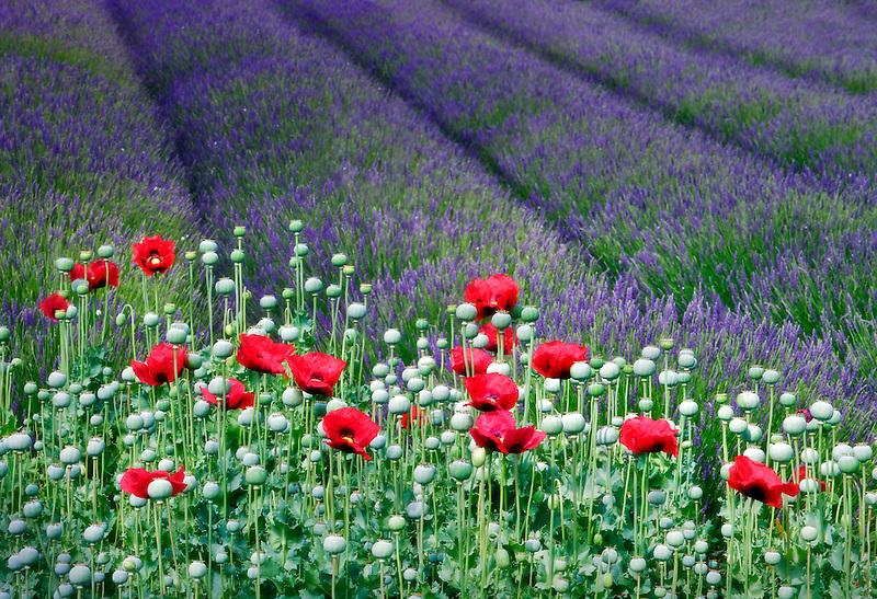 Red poppies and lavender field.  Jardin du Soleil. Washington