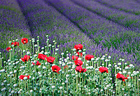 Red poppies and lavender field.  Jardin du Soleil. Washington