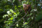 White-fronted Capuchin Monkey (Cebus albifrons) in forest canopy. Paujil Nature Reserve, Magdalena Valley, Colombia.