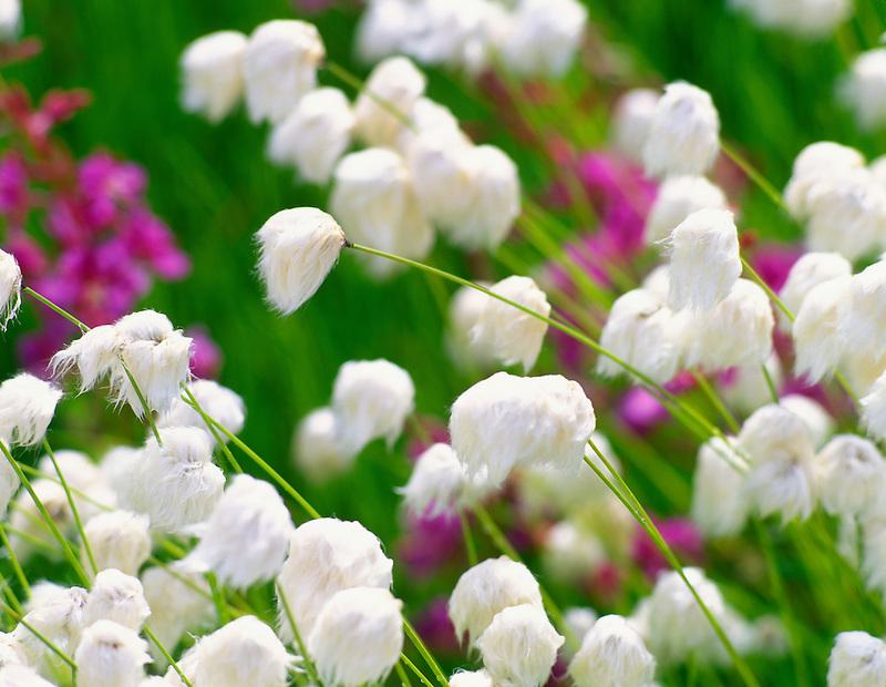 Alaska Cotton (Eriophorum scheucheri). Near the Danali Highhway, Alaska