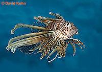 "0106-08tt  Red Volitan Lionfish ""Venomous Spines on Fish"" - Pterois volitans © David Kuhn/Dwight Kuhn Photography"