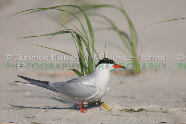 Common Tern (Sterna hirundo) tending nest and eggs, Nickerson Beach, Lido Beach, New York