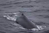 Humpback whale Megaptera novaeangliae surfacing South orkney islands, Scotia sea, Southern ocean, Antarctica